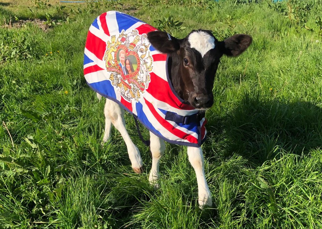 With the Wedding of the year fast approaching, the UK's cows are ready for the festivities!