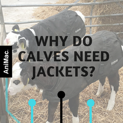 Why do calves need jackets