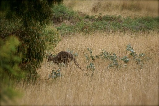 Meanwhile in the bush behind the competition area, the lone kangaroo stays just out of sight.