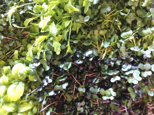 Micro Greens - Assorted