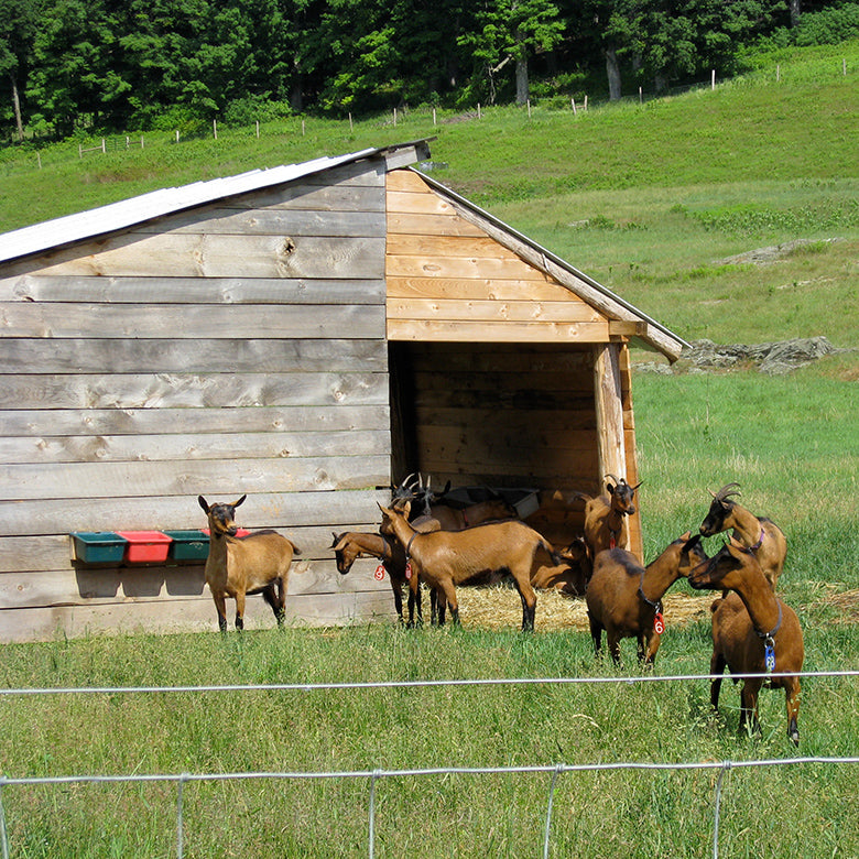 Goats next to run-in shed at Consider Bardwell Farm