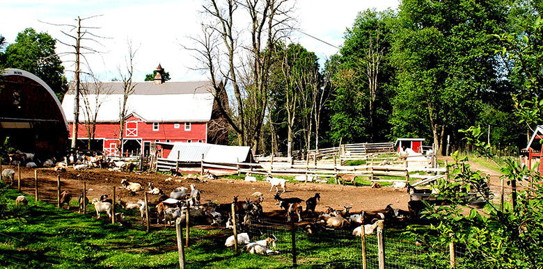 Goats outside of red barn at Nettle Meadow Farm