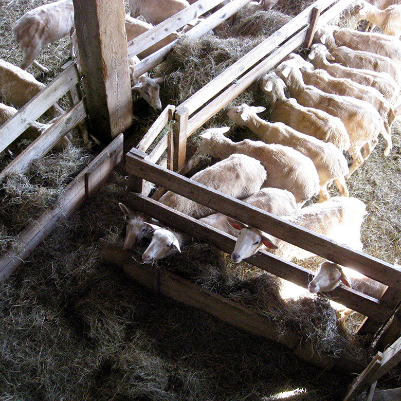 Lambs inside barn feeding on hay at Vermont Shepherd