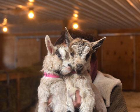 two baby goats snuggling