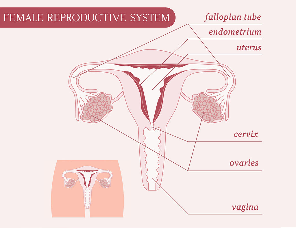 Female Anatomy and Checking the Cervix