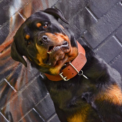 Strong brown Classic Collar on Rottweiler