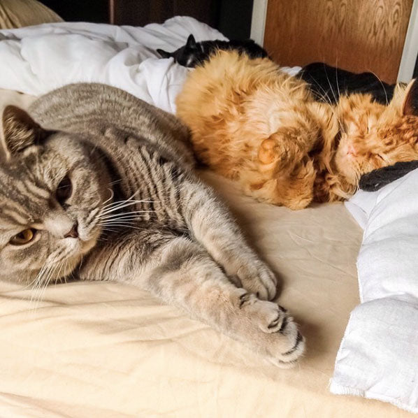 Three sleepy cats napping on a bed on Instagram