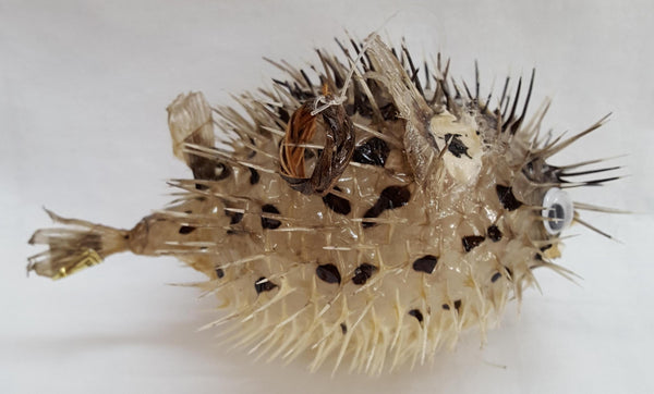 Small Porcupine Blow Fish, Shells, - Shell Port