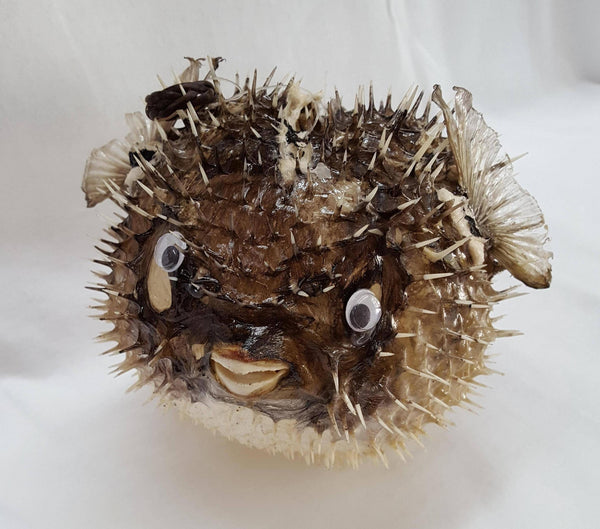 Large Porcupine Blow Fish Shells - Shell Port