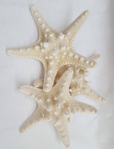 Large Knobby White Starfish, Shells, - Shell Port