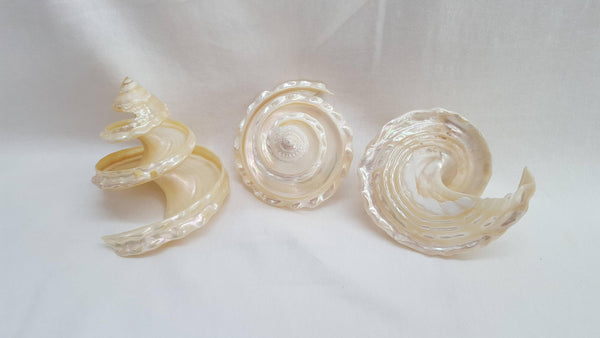 Cut Large Pearlized Top Shell, Shells, - Shell Port