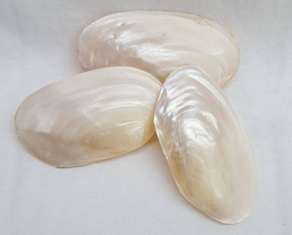Pink & White Pearlized Clam, Shells, - Shell Port