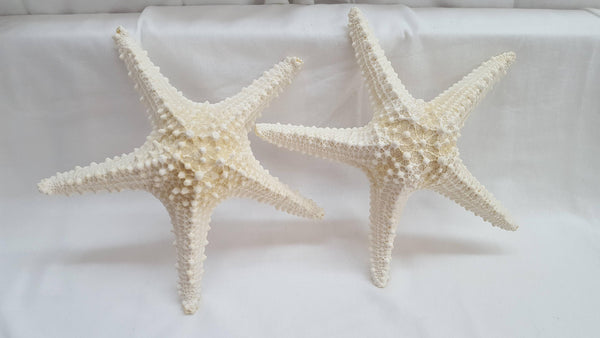 Jumbo Knobby White Starfish, Shells, - Shell Port