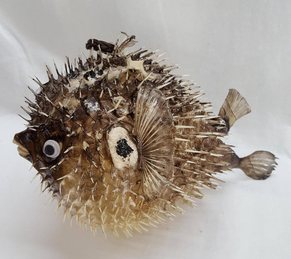 Large Porcupine Blow Fish, Shells, - Shell Port