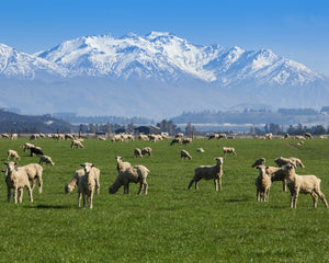 Why we've used New Zealand grown lamb