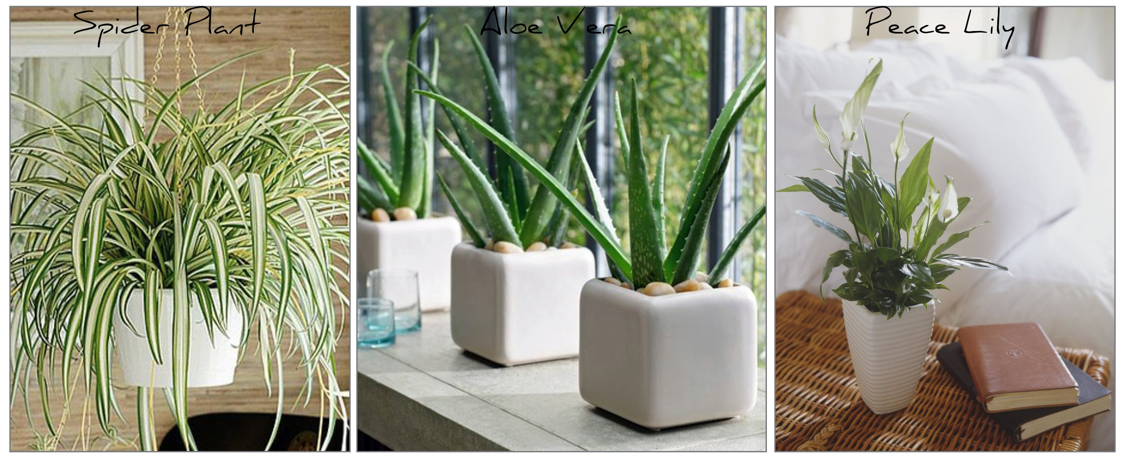 Create an Indoor Garden: Start with easy maintenance plants to get you used to keeping them alive! Here are our top 3 ...   1. Spider Plant ~ Easy to grow, prefers indirect sunlight and is great as a hanging plant. Needs water a couple of times a weeks and if the tips start to go brown you know the soil is too dry.   2. Aloe Vera ~ The Aloe is in greater danger if being over-watered than underwater! So water once every couple of weeks, a bit more in Summer. Likes light but not harsh sunshine.  3. Peace Lily - This beautiful plant lets you know when it's thirsty as the leaves begins to droop. Keep in a warm room and water little and often to keep soil moist and it'll reward you with beautiful white lilies in Sping and again in Autumn. It's also in NASA's top 10 air cleaning plants!