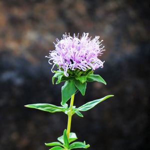 Native Plant Report - Coyote Mint