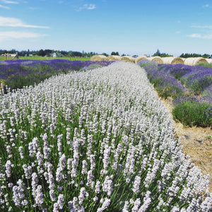 Meet our Local Supplier: Victor's Lavender