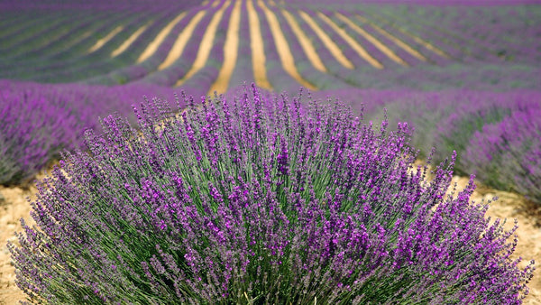 The Role of Lavender in Sleep