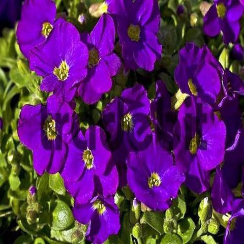 200+ Purple Rock cress Cascading Flower Seeds , Under The Sun plant