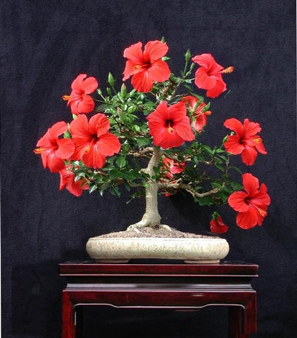 100 bonsai Hibiscus Flower Seeds Hardy ,Mix Color, DIY Home Garden potted or yard flower plant