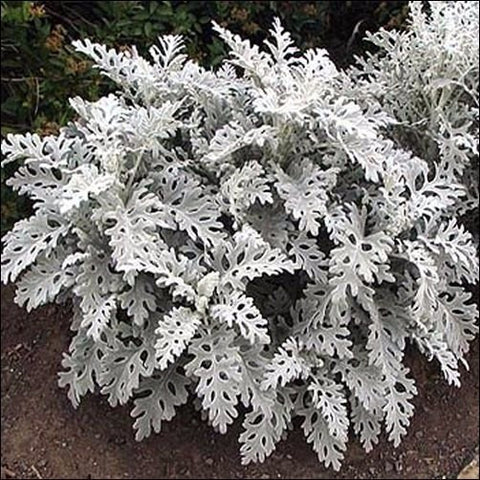 100+ pcs/bag Cineraria Dusty Miller Plant Seeds , Under The Sun plant