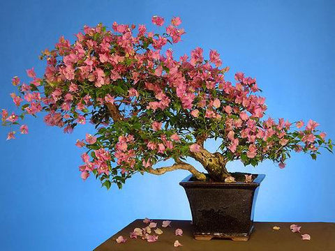 HEIRLOOM SEEDS CRAPE MYRTLE * BONSAI FLOWER SEEDS