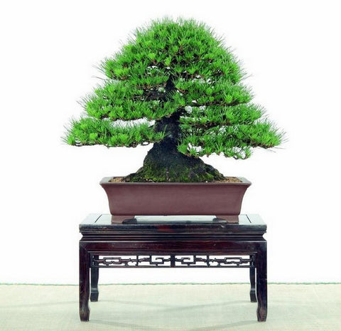 100pcs pine tree seeds, Pinus thunbergii seeds, bonsai seeds  | DIY home garden