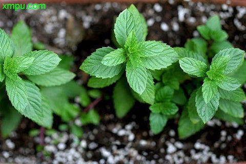 600pcs/bag Herbs Seeds Green,Stevia small tree seeds, rebaudiana Semillas for Garden Planting