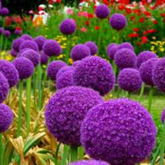 100 pcs Giant Allium Giganteum seeds | Makes a great gift for kids
