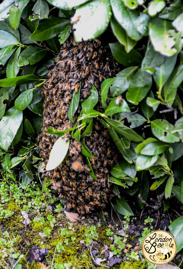 Honey Bee Swarm Collection