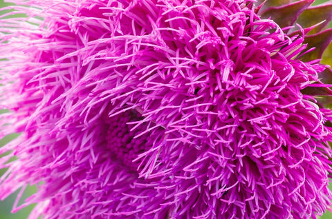 Milk Thistle – Working for Your Liver's Benefit since the Ancient times