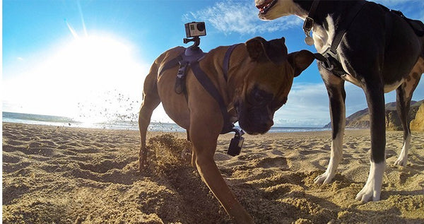 Dog Mount for GoPro 8, 7, 6,5,4,3,3+,2 og Session - film fra hundens perspektiv! **BESTSELGER**