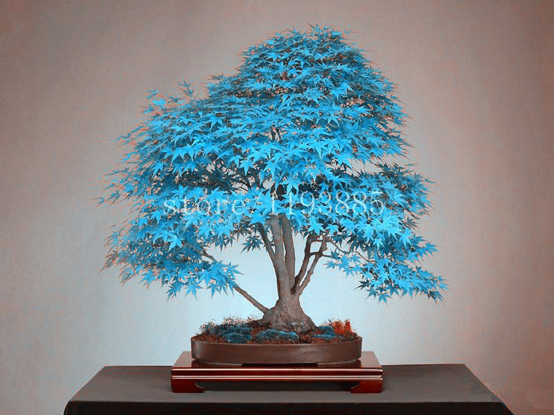 Magic Blue Bonsai Tree Seeds