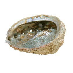 Abalone Shell - Med/Large