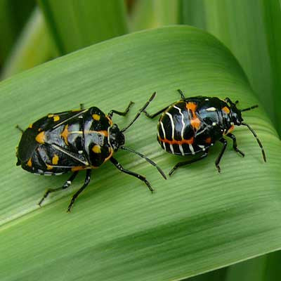Protect Your Garden from Harlequin Bugs