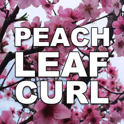 Managing Peach Leaf Curl