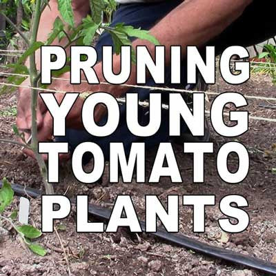 Pruning Young Tomato Plants