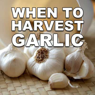 When to Harvest Garlic