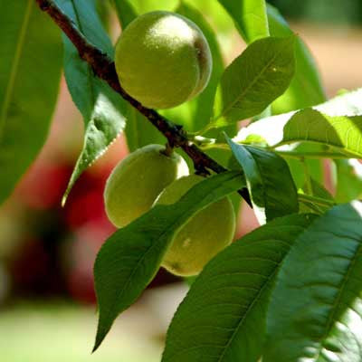 Gardening Tips: Thinning Peaches