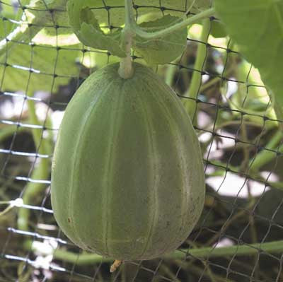 Growing Melons on a Trellis