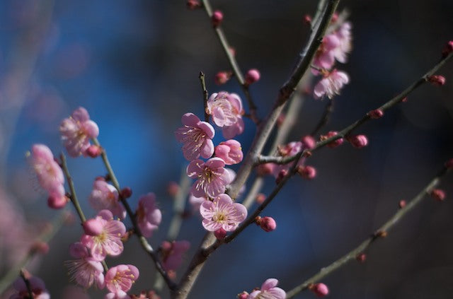 Pink Ume Apricot blossoms