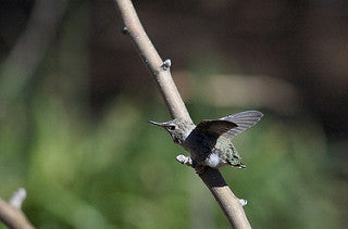 hummingbird chick on a branch