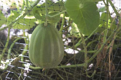 melon on a trellis
