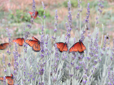 monarch butterflies on lavender