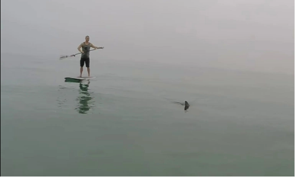 Video: Stand Up Paddle Boarders Surrounded By Great White Sharks