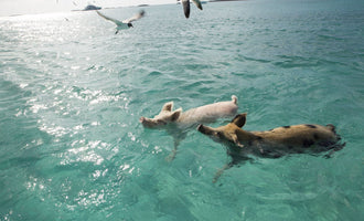"They give them beer, rum, ride on them"": Tourists may be killing the adorable swimming pigs of the Bahamas"