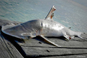 Discovery of New Shark Species Highlights Need to Protect Belize Waters