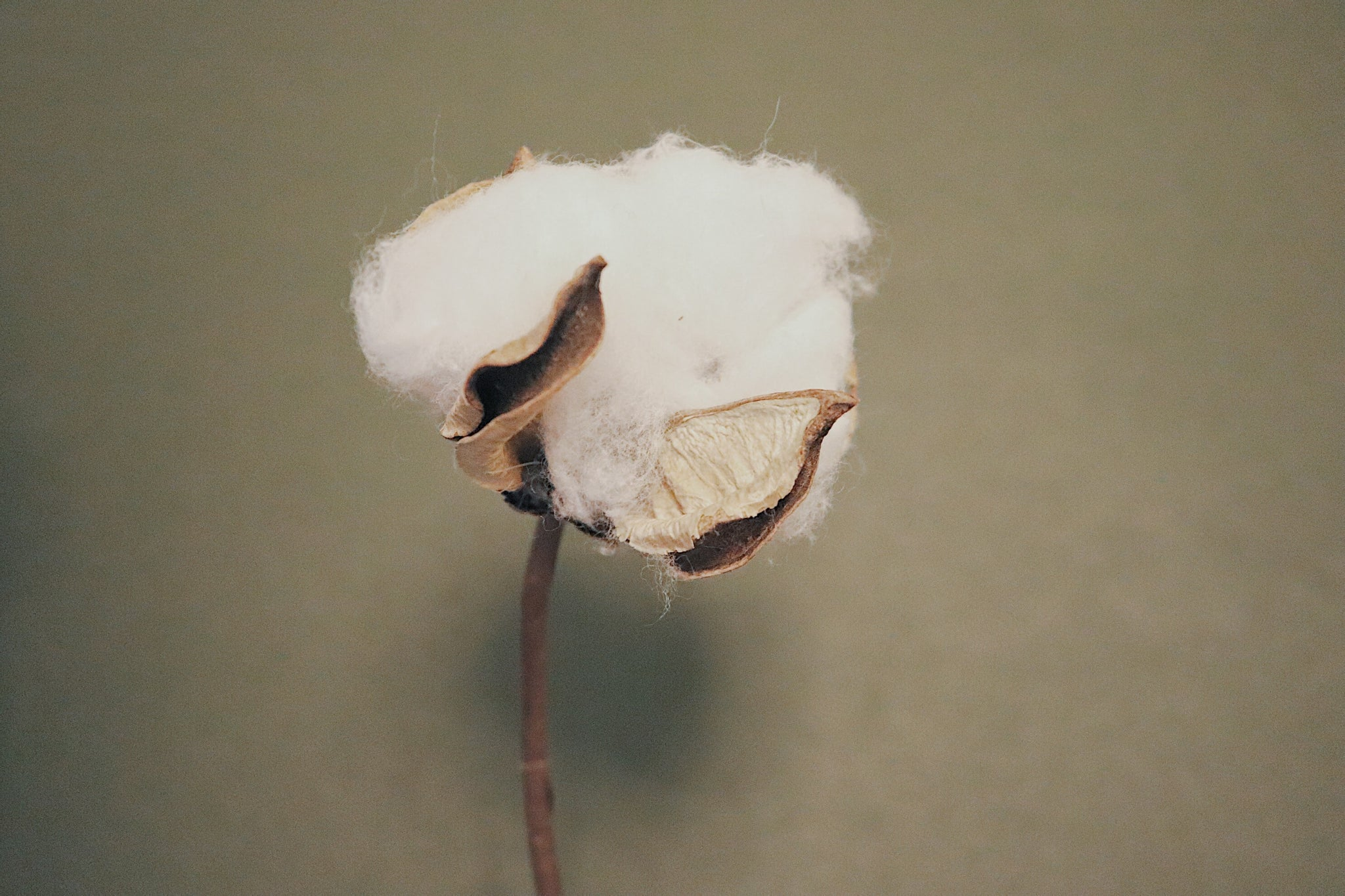Organic Cotton vs. GMO Cotton: What's the Difference?
