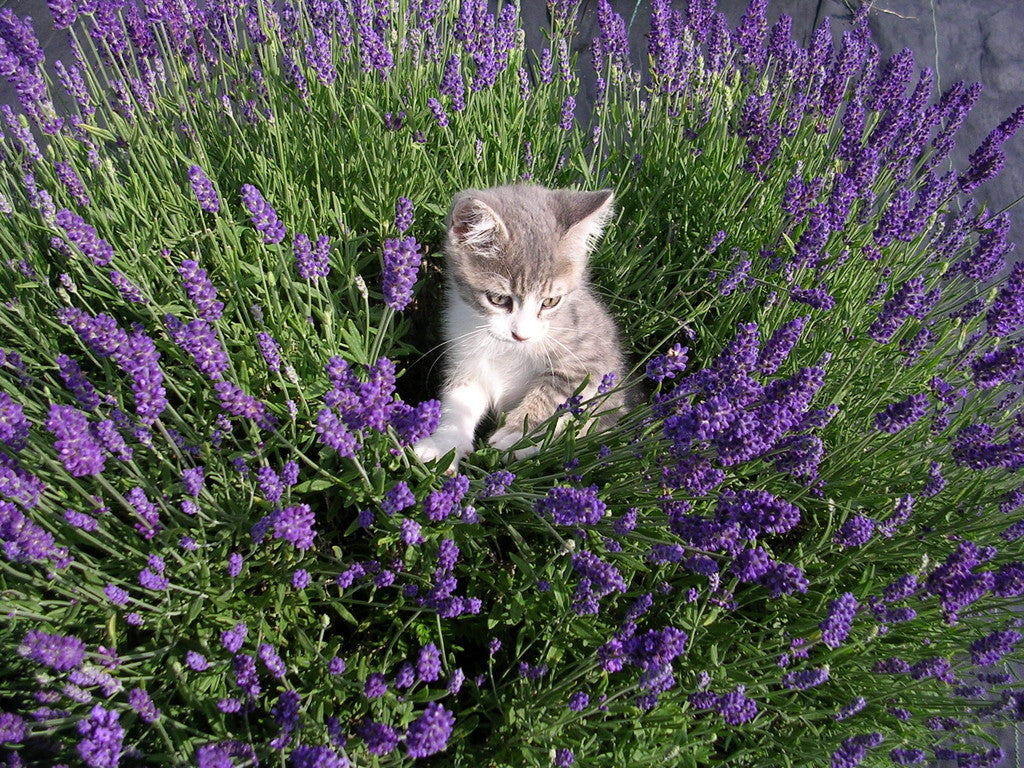 Lovely Lavender - #floweressencefriday